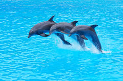 Leaping Bottlenose Dolphins, Tursiops truncatus Royalty Free Stock Photo