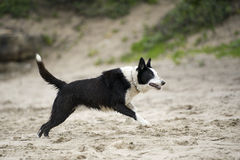 Leaping collie Stock Photography
