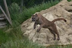 Leaping Cougar Royalty Free Stock Photos