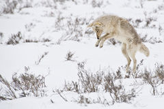Leaping Coyote. A coyote hunts for dinner beneath the snow Royalty Free Stock Photo