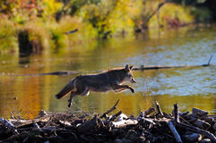 Leaping Coyote Stock Photo