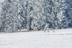 Leaping deer in a winter landscape. Winter landscape and a group of roe deer in the meadow in Sumava, Czech republic. Stock Image