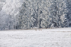 Leaping deer in a winter landscape. Winter landscape and a group of roe deer in the meadow in Sumava, Czech republic. Stock Photos