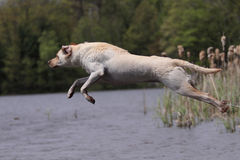 Leaping Dog. A Yellow Labrador Retriever leaps into water Stock Photo