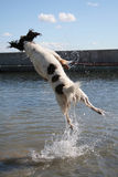 Leaping dog royalty free stock photo