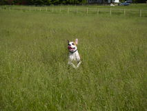 Leaping Dog in Tall Grass. American Bulldog Puppy caught leaping through tall grass with ears up Royalty Free Stock Photos