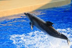 Leaping Dolphin. A bottle nosed dolphin jumping out of the sapphire blue waters royalty free stock photography