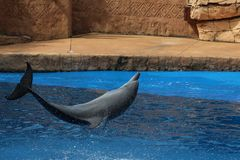 Dolphin jumping in a show. Bottlenose dolphin flipping in its pool stock image