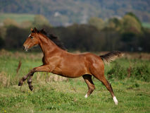 Leaping Foal Stock Images
