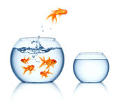 Leaping goldfish  Royalty Free Stock Image