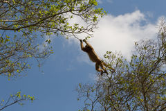 Leaping Howler monkey in pantanal, Brazil stock image