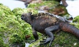 Leaping Marine Iguana Stock Images