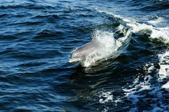 Leaping Porpoise Charlotte Harbor Royalty Free Stock Image