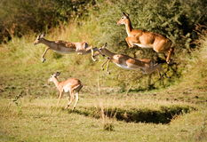 Leaping for safety. Herd of impala and one puku leaping Stock Photos