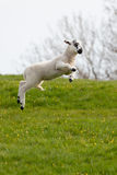 Leaping spring lamb. Lamb leaping for joy in the spring sunshine in the UK stock image