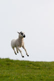 Leaping spring lambs. Lambs leaping for joy in the spring sunshine in the UK Stock Photos
