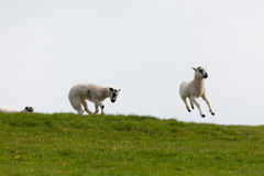 Leaping spring lambs. Lambs leaping for joy in the spring sunshine in the UK Stock Photo