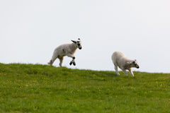 Leaping spring lambs. Lambs leaping for joy in the spring sunshine in the UK Royalty Free Stock Images