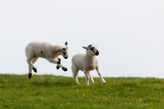 Leaping spring lambs. A pair of lambs leaping for joy in the spring sunshine in the UK Royalty Free Stock Image