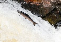 Leaping wild Atlantic Salmon. The mighty atlantic salmon travelling to spawning grounds during the summer in the Scottish highland. The salmon in this picture is Stock Images