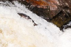 Leaping wild Atlantic Salmon. The mighty atlantic salmon travelling to spawning grounds during the summer in the Scottish highland. The salmon in this picture is Royalty Free Stock Image