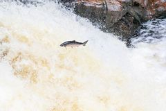 Leaping wild Atlantic Salmon. The mighty atlantic salmon travelling to spawning grounds during the summer in the Scottish highland. The salmon in this picture is Stock Photography