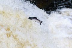 Leaping wild Atlantic Salmon. The mighty atlantic salmon travelling to spawning grounds during the summer in the Scottish highland. The salmon in this picture is Stock Photo