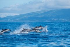 Leaping wild dolphins