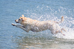 Leaping Yellow Lab Stock Photo
