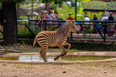 Leaping zebra, como zoo Royalty Free Stock Image