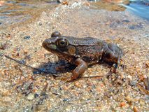 Leapord frog on the Beach Royalty Free Stock Image