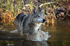 Leaps and Bounds. Closeup of a Tundra Wolf running in water and making a splash Stock Photography