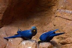 Lear macaw στοκ φωτογραφίες με δικαίωμα ελεύθερης χρήσης