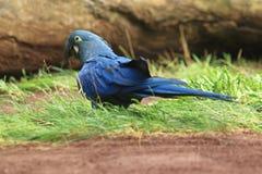 Lear macaw Στοκ Εικόνα
