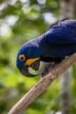 Lear& x27 s macaw σε ένα δέντρο brunch Στοκ Εικόνες