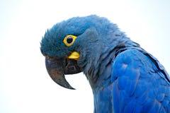 Lear`s Macaw, Anodorhynchus leari, Indigo blue macaw, detail portrait in nature. Rare endemic big blue bird with orange black eye
