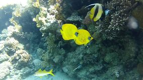 Сlear water of the red sea. Underwater coral reef red sea. The corals and fish. Transparent and warm water. Underwater life tropical fish. Beautiful exotic stock video footage