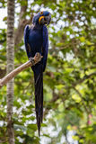 Lear's macaw on a tree brunch Royalty Free Stock Photo