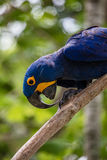Lear's macaw on a tree brunch Stock Images