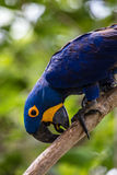 Lear's macaw on a tree brunch Stock Image