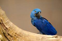 Leari Anodorhynchus - Lears macaw στη Βραζιλία Στοκ φωτογραφία με δικαίωμα ελεύθερης χρήσης
