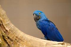 Leari Anodorhynchus - Lears macaw Στοκ Φωτογραφία
