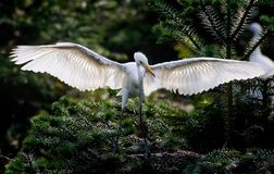 Learn to flying. Little egret is learning to flying Stock Images
