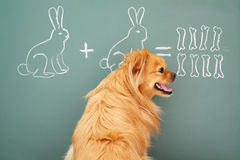 Learner. Education idea joke with funny dog studying mathematics. Focus on eyes of dog Royalty Free Stock Photos
