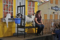 Learning about Farm Life at the Los Angeles County Fair in Pomona, California. A goat eats while a volunteer teaches children about farm life at the FARM exhibit royalty free stock images