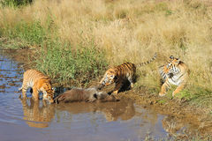 Learning from a hunting trip. A mother tiger watches by as its cubs tackles a prey royalty free stock image