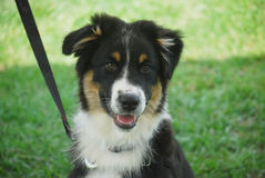 Learning Leash Manners. Purebred australian shepherd puppy learning about leash manners as he sits politely for a greeting Royalty Free Stock Photo