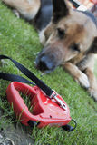 The leash and  dog Stock Photography