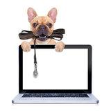 Leash dog ready for a walk. Fawn french bulldog with leather leash ready for a walk with owner,behind a laptop pc computer screen , isolated on white isolated royalty free stock image