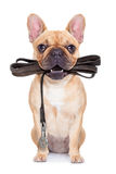 Leash dog ready for a walk Royalty Free Stock Photography